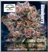 Dutch Passion blueberry female medicinal cannabis seeds sale